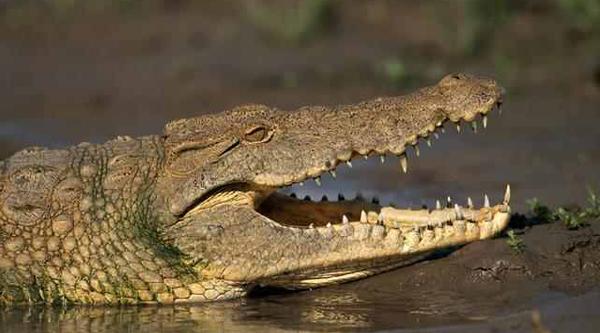 Nile crocodile.