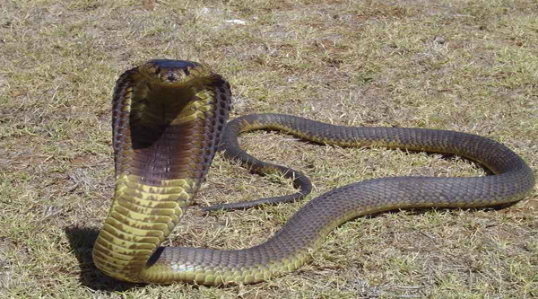 Egyptian cobra.