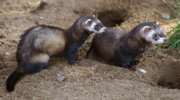 Weasels.