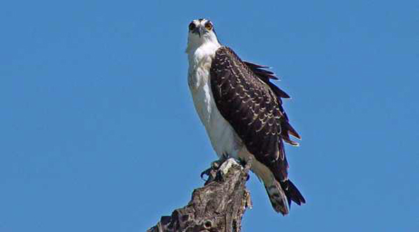 Osprey perch.