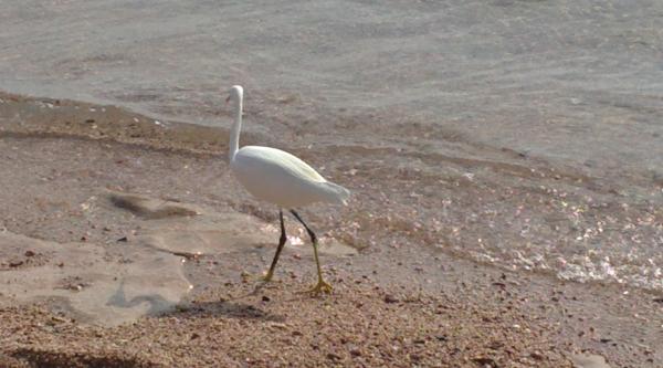 White stork at Ras Mohammed.