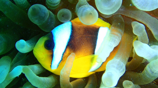 Clown fish in Anemons.