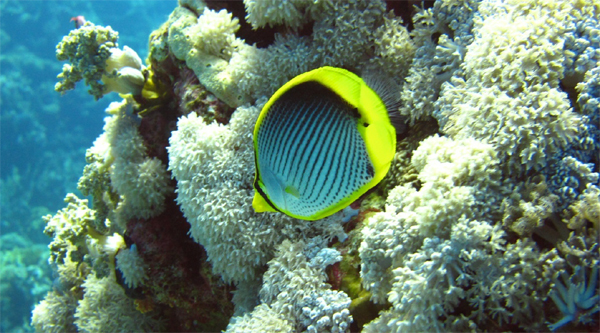 Black-backet butterfly-fish.