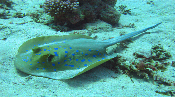 Blue spotted ribbontail stingray