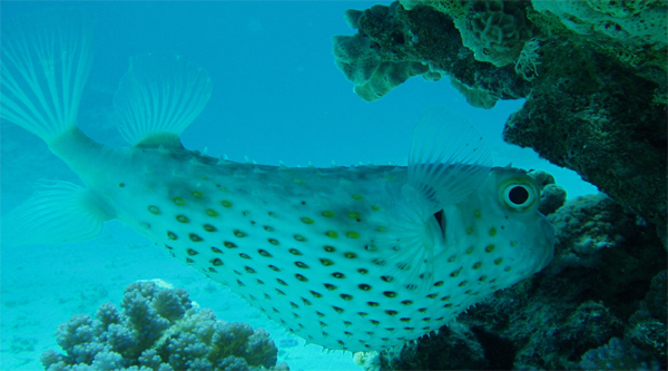 Yellow-spotted Burrfish