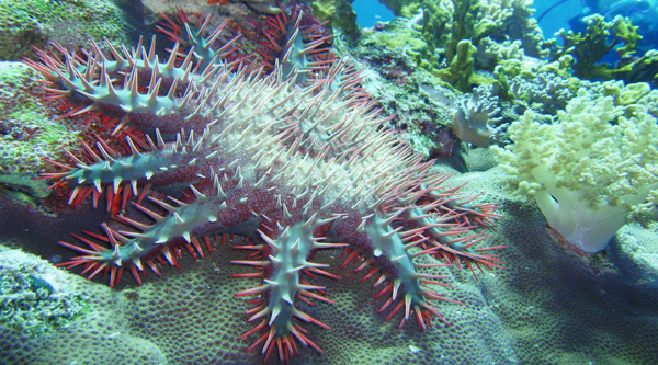 Crown of thorns star-fish