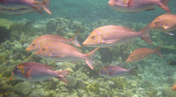 Emperor spangled fish