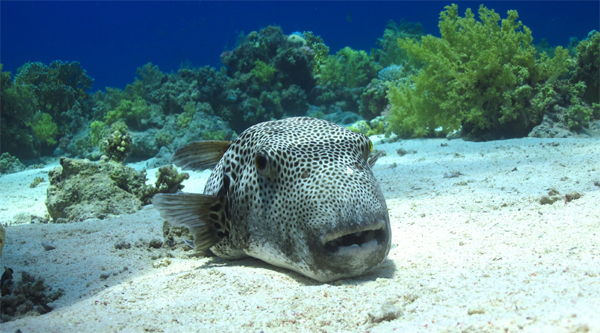 Giant puffer fish