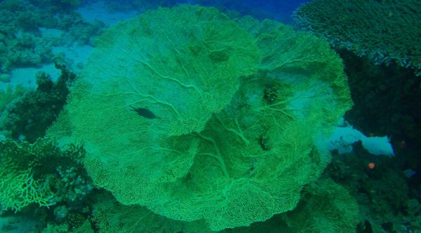 Gorgonian fan coral.