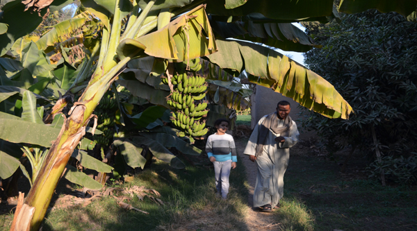 На банановой плантации