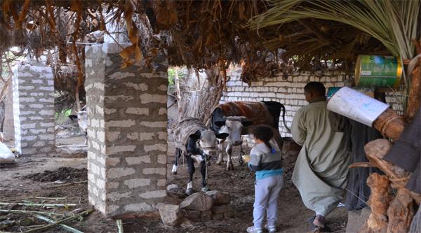 Кормление местных коров