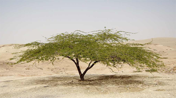 Image result for bush in the egyptian desert