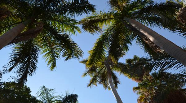Гигантские пальмы в саду