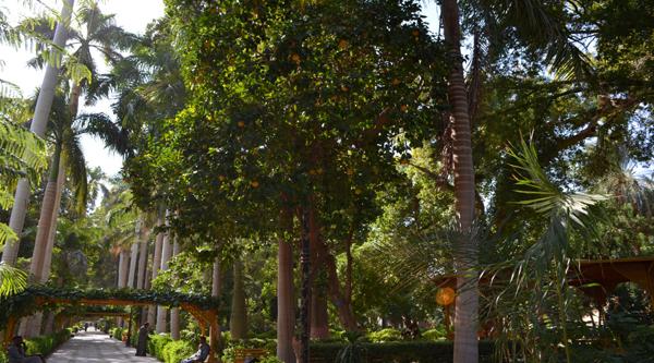 Orange tree at Aswan botanical garden.