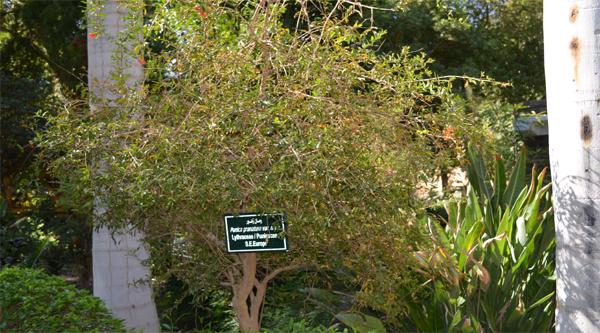 Pomegranate tree in the garden.