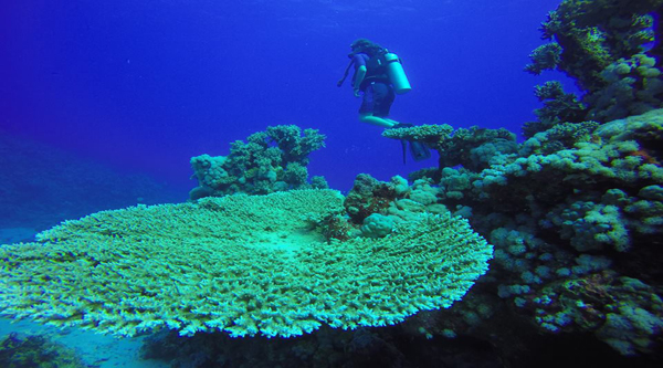 Giant Red Sea coral reef