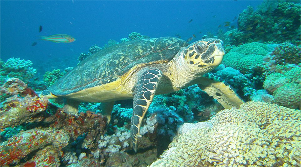 Red Sea turtle.