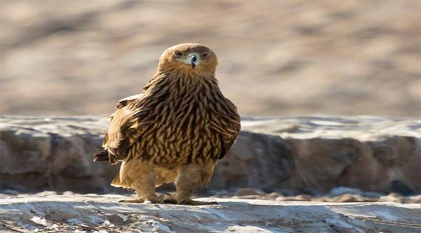 Императорский орел