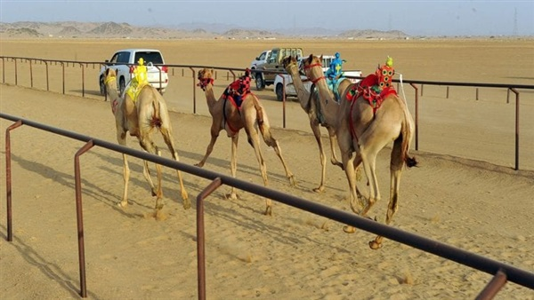 Camel race in Sharm el Sheikh
