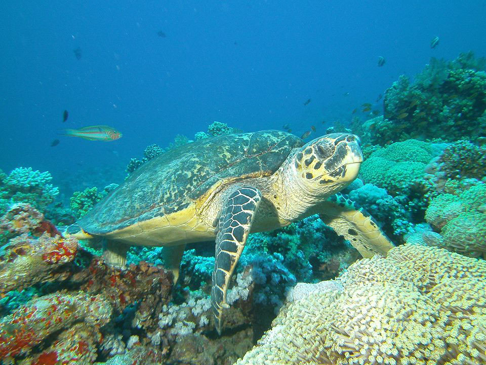 Red Sea turtle