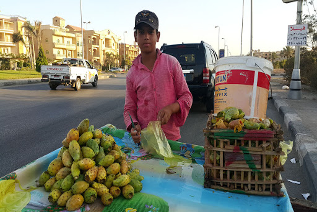 opuntia or prickly pear in Egypt