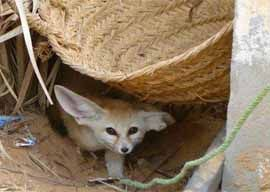 Desert fox in Sinai